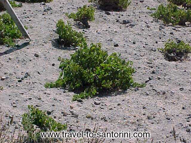 WINE YARDS - In Santorini, the grape vines are planted in a depression and the vines are curled around the root creating a