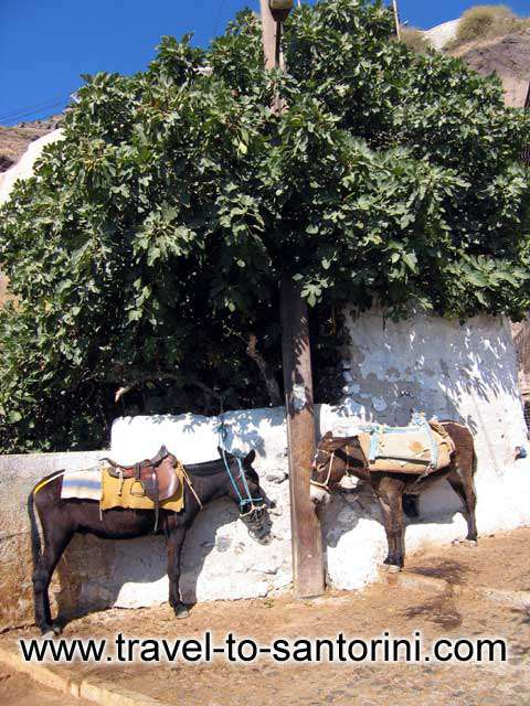 Two horses - Two horses waiting under a fig tree
