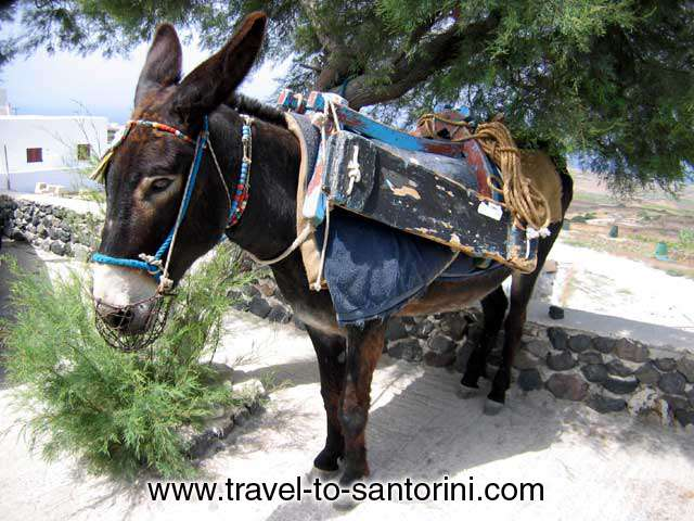SANTORINI DONKEY - Donkeys and mules were the only the means of transportation in Santorini till about 1960. <br>Still today for all the transportation of goods and materials within the caldera pathways <br>is carried out by our charming friends!